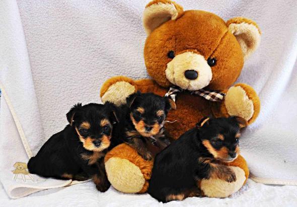 Sweet Puppy Lov | Yorkie Puppy's for sale